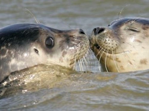 Il branco delle foche. 1